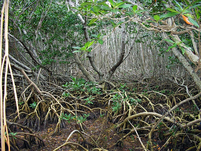 Intricate mangrove forest