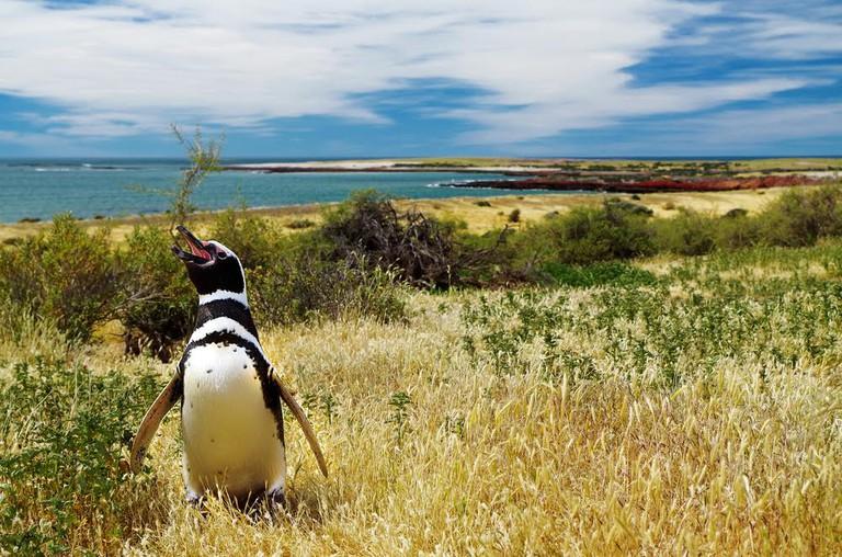 Magellanic penguin in Argentina