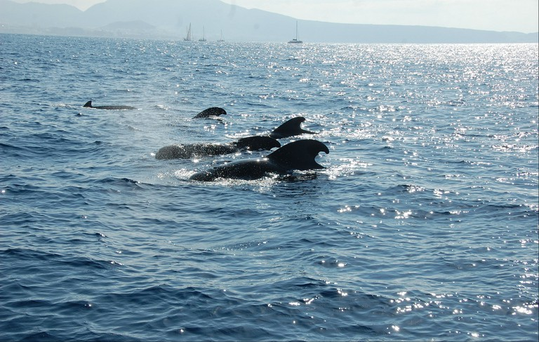 Pilot whales off Tenerife