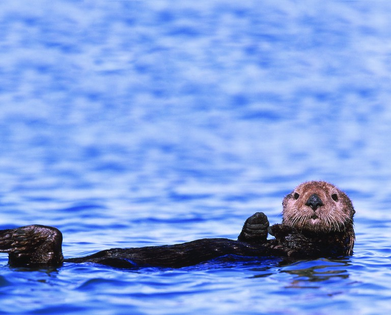 Sea Otters in Monterey