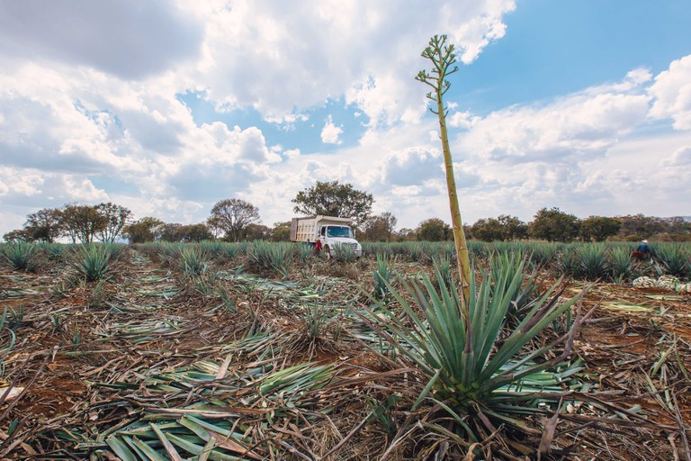 A flowering agave plant