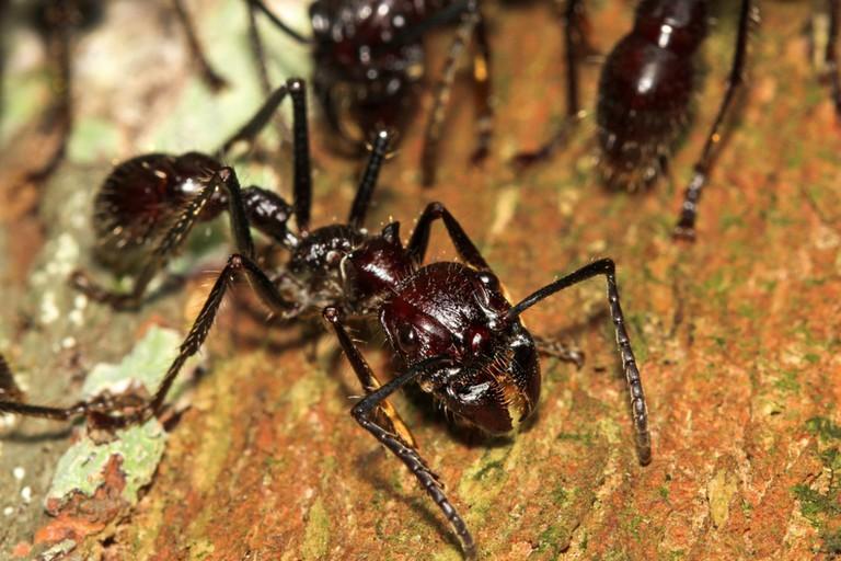 Bullet ant |© Ryan M. Bolton/Shutterstock