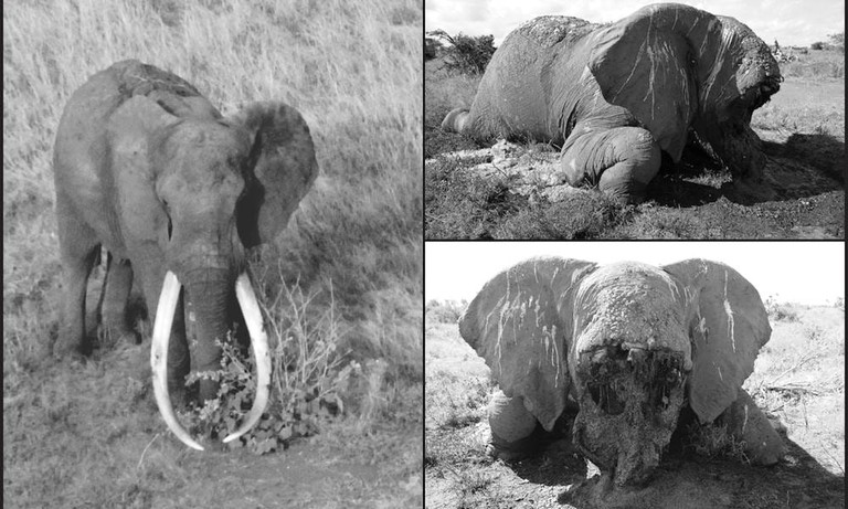 The death of Satao, one of Tsavo's most iconic and well-loved tuskers | © Tsavo Trust/Facebook
