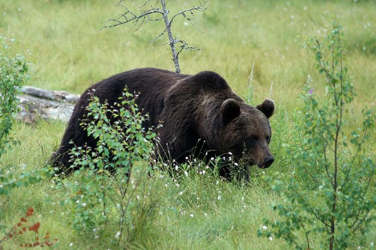 Brown bear in Kainuu / Ludovic Péron / WikiCommons
