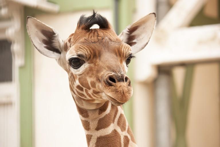 A young giraffe at Artis