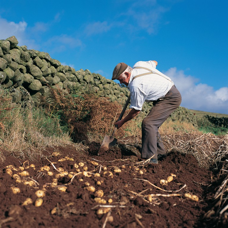 A Potato Harvest in Antrim