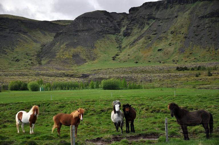 Icelandic Horses | © Jennifer Boyer/Flickr