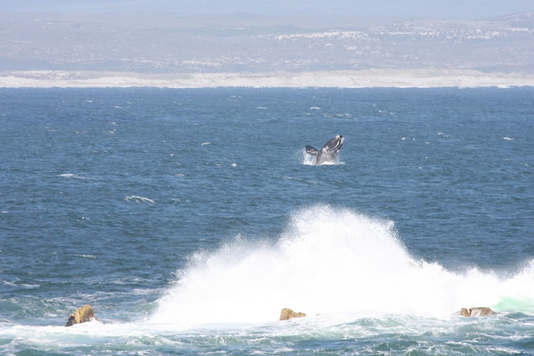A southern right whales in Hermanus