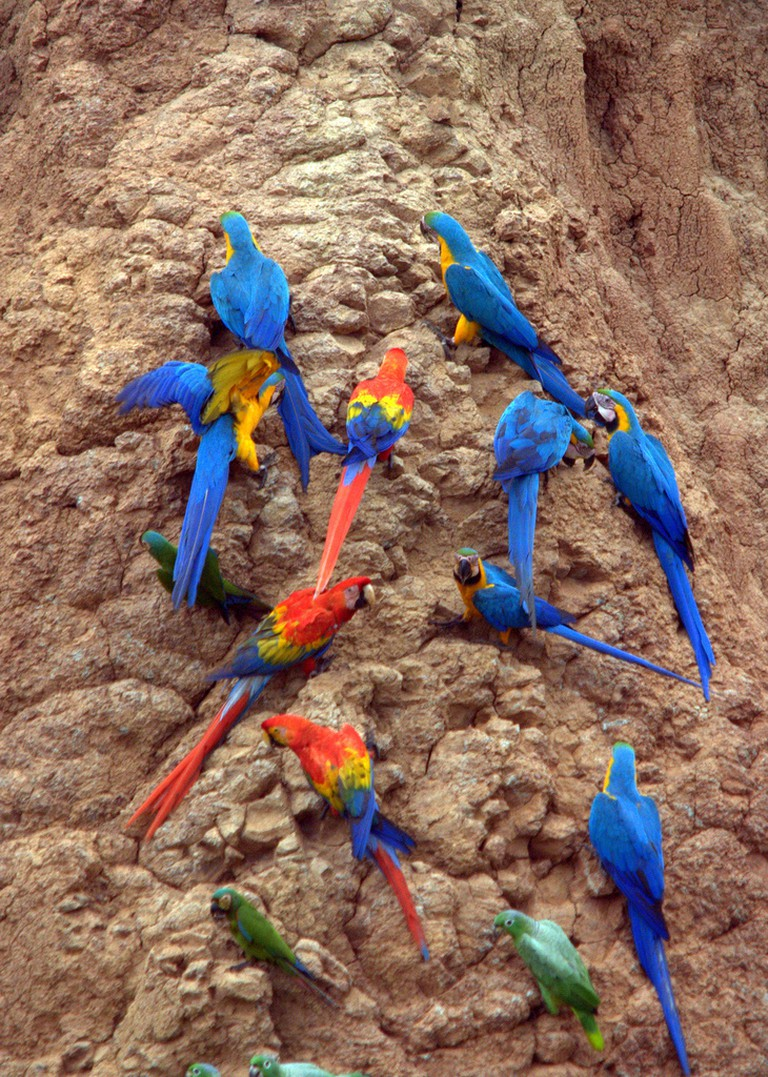 Blue-and-yellow Macaws, Scarlet Macaws and Parrots at the Clay Lick