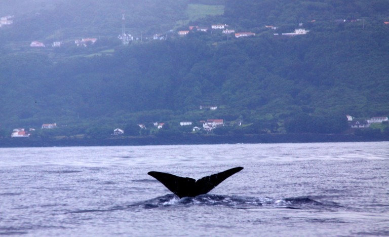 Whale tail in the Azores