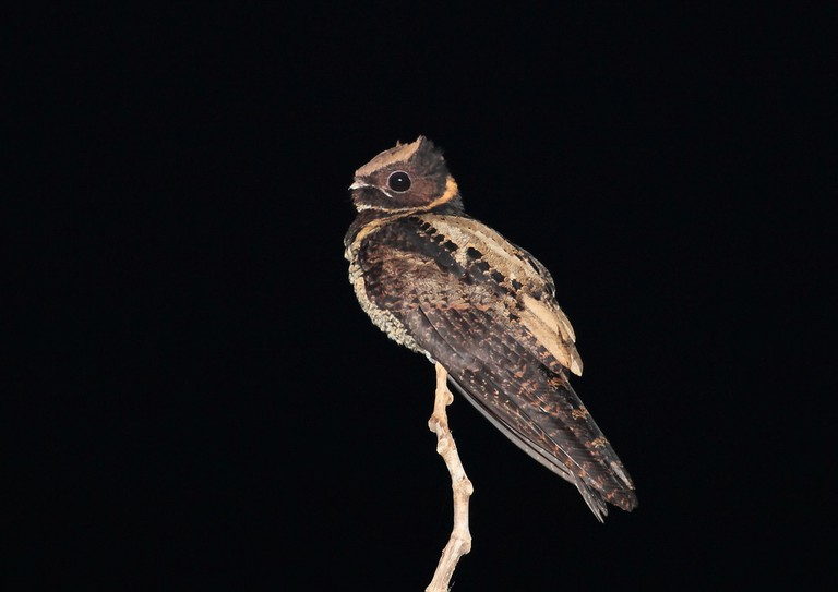 A nightjar at Tangkoko, Sulawesi