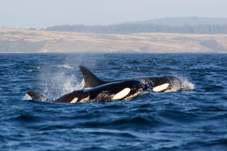 Orca pod at Vancouver Island