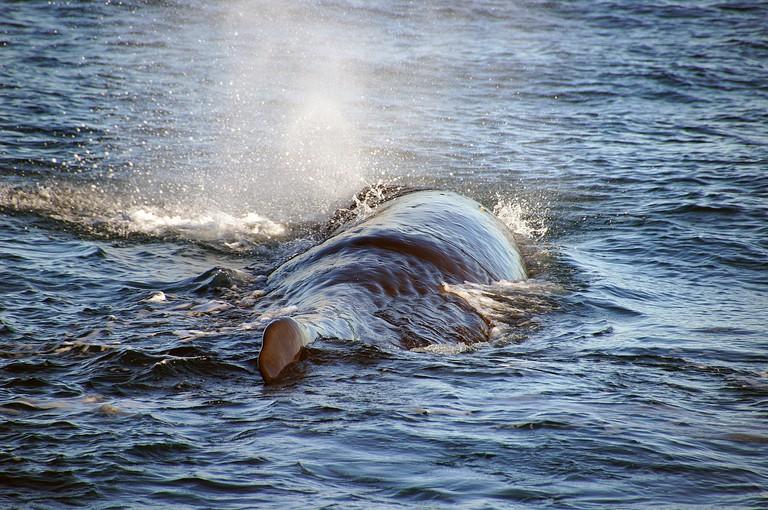Whale breaching in Kaikoura