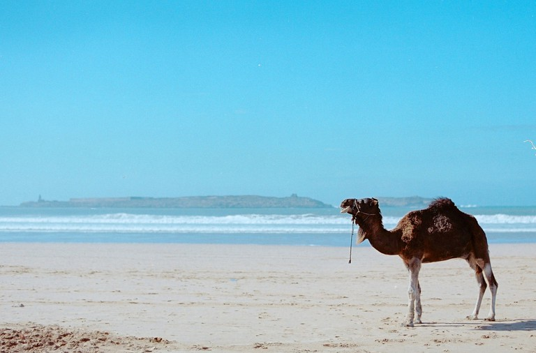 Camel in Essaouira, Morocco