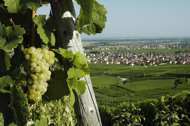 The Tuckenheim vineyards