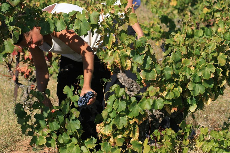 Chateauneuf du Pape harvest │© Jeanlouis / Wikimedia Commons