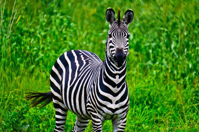 Zebra in Akagera National Park
