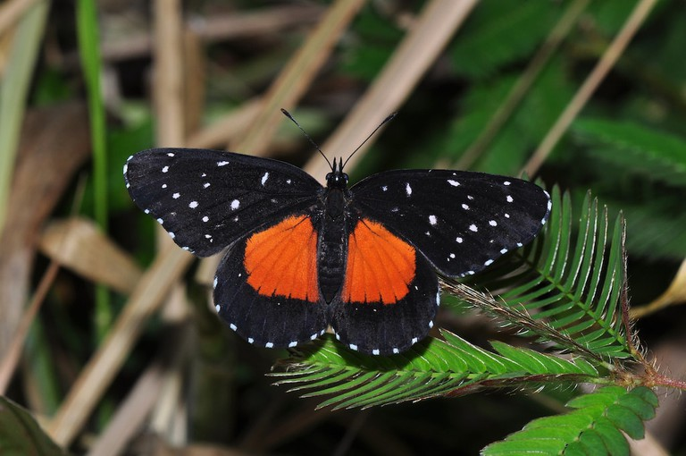Crimson patch butterfly