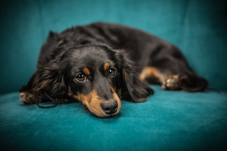 Dog on sofa │© StockSnap / Pixabay
