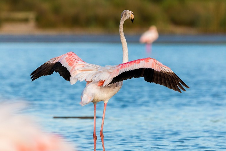 Try to catch a glimpse of flamingo in the Sado Estuary
