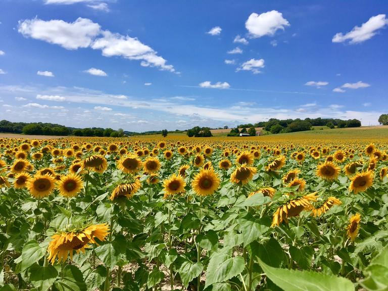 Sunflower fields near Clion