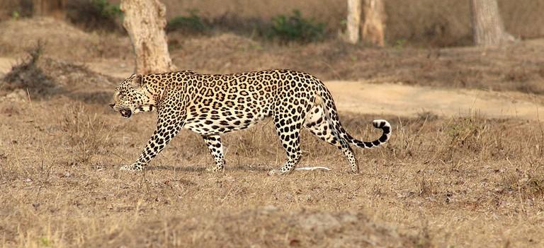 Indian male leopard