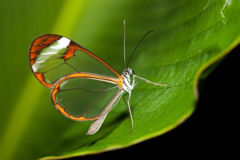 Their clear wings taste bad to predators