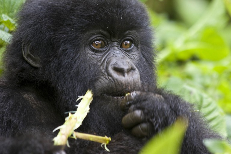 Mountain gorilla in Volcanoes National Park | © Hjalmar Gislason / Flickr