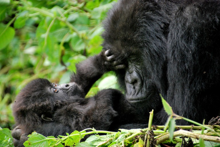 Gorillas in Volcanoes National Park | © Carine06 / Flickr