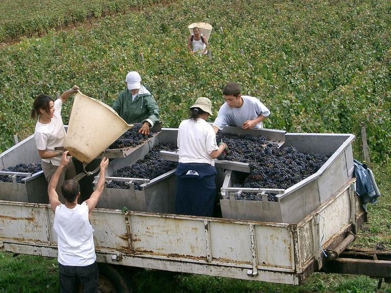 Harvest in Burgundy, Côtes de Beaune│© PRA / Wikimedia Commons