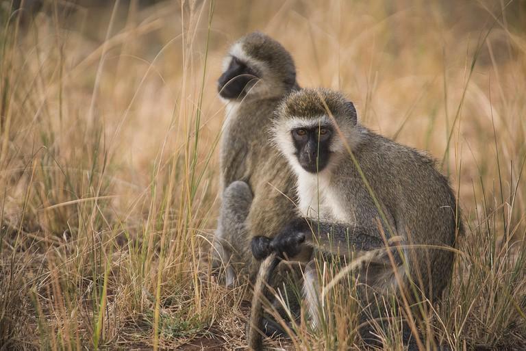 Velvet Monkeys in Akagera National Park