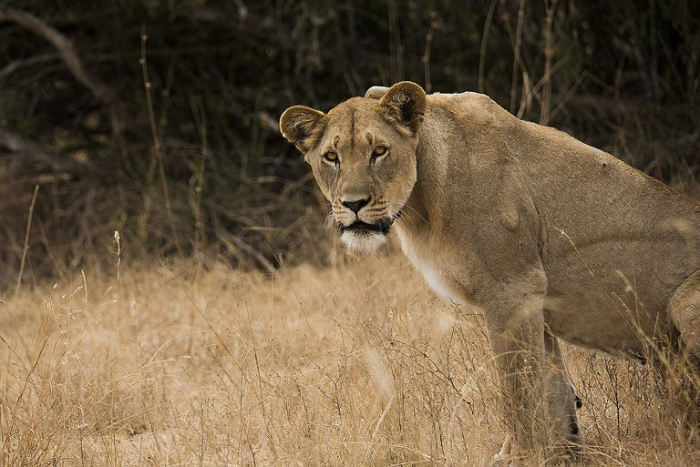 Lioness in Akagera National Park | Courtesy of Mihir Bhatt