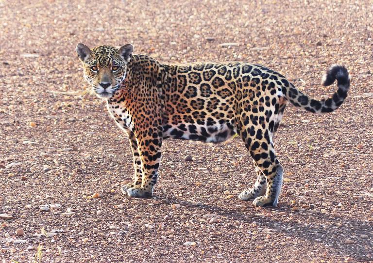 Jaguar in Kaa Iya National Park