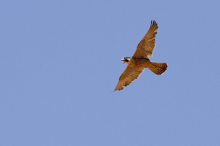 The Sierras Subbéticas boasts Andalusica's largest colony of peregrine falcons