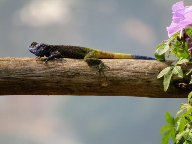 Blue Headed Agama Lizard in Gisenyi