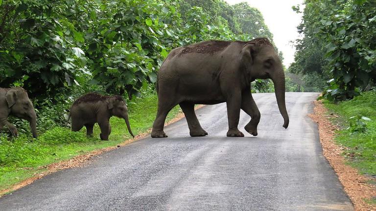 Wild elephants crossing road