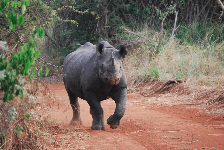 Rhinoceros in Akagera National Park