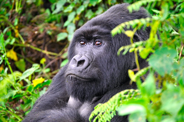 Silverback Gorilla in Volcanoes National Park