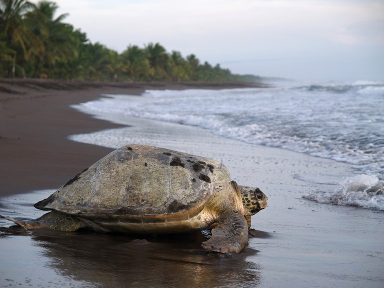 Sea Turtle crawling out to sea from Tortuguero