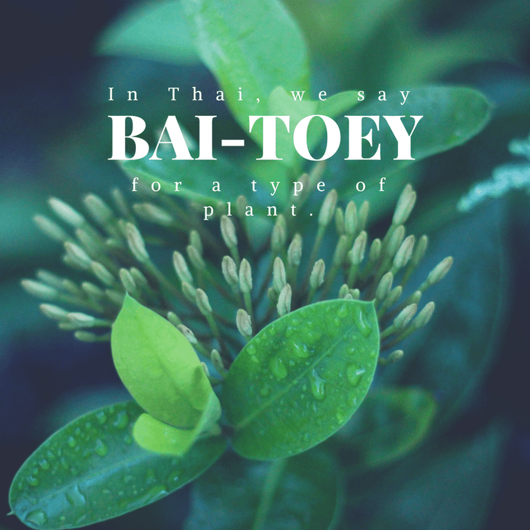 Bai-toey for a type of plant