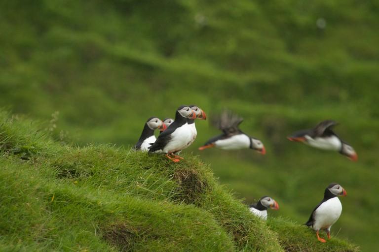 Vestmann Island puffins