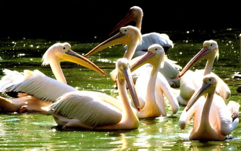 Swans at Indroda Zoo