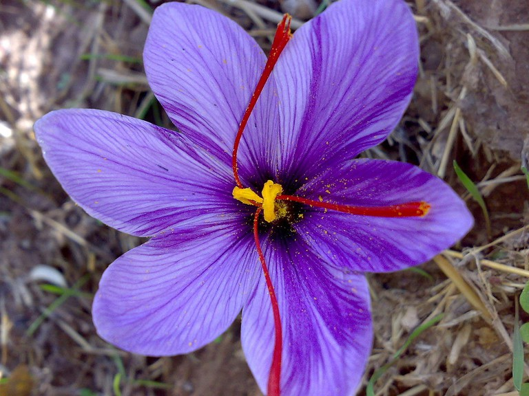 saffron flower | ©Serpico / Wikimedia Commons