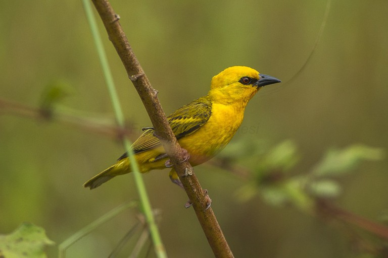 Orange Weaver near Ankasa