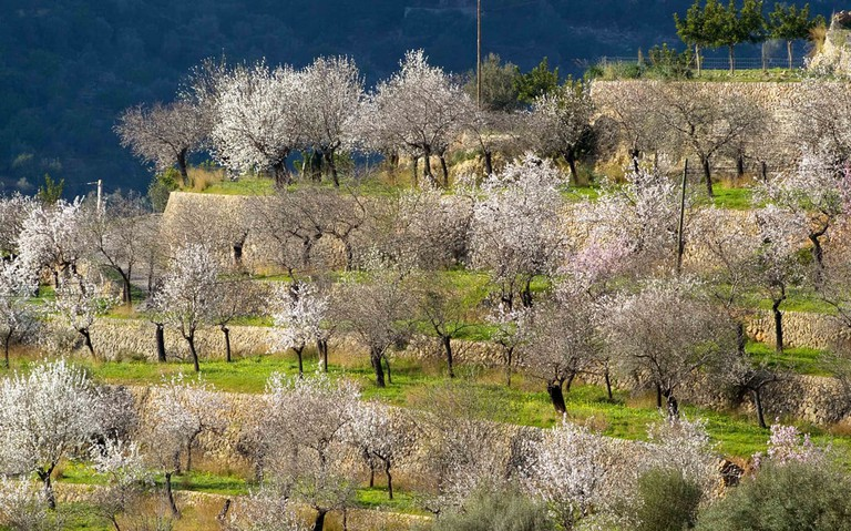 Almond trees in blossom | © Frank Jakobi / Flickr