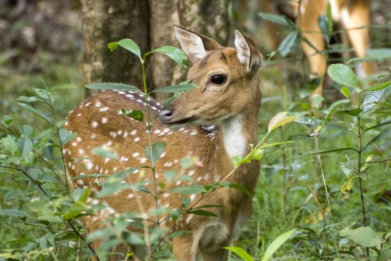 Sneak a peak at a wild spotted deer in Wilpattu