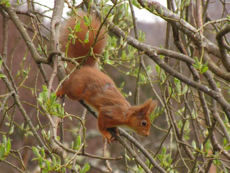 Red Squirrel, Highland Perthshire