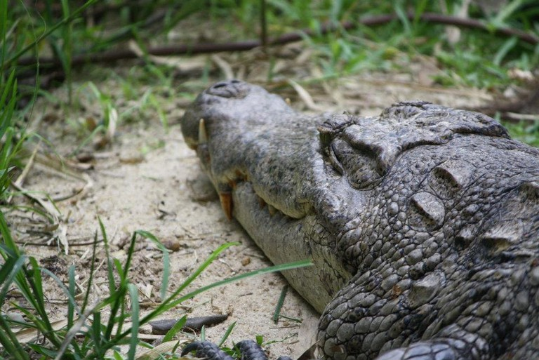 Dozing Crocodile at Paga