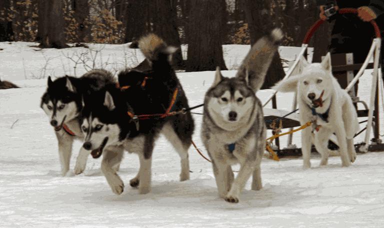 Husky sled team / Mike Ball / Flickr