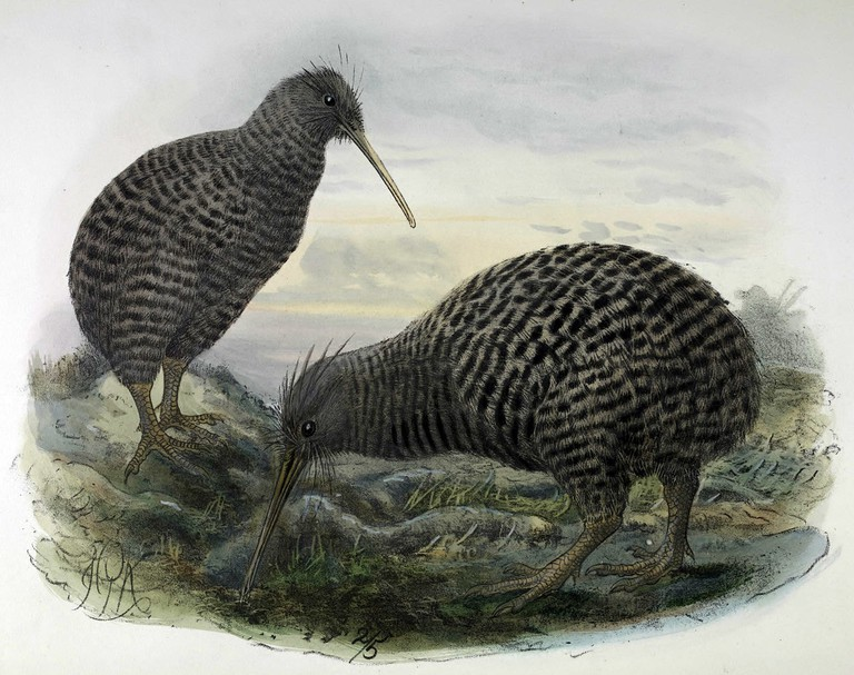 "Illustration of Little-Spotted Kiwi from the 1873 Book ""A History of the Birds of New Zealand"""